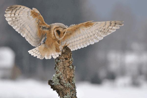 Owl - Westmoreland Sanctuary